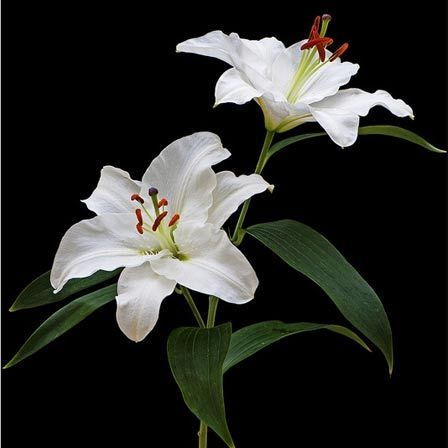 Most beautiful flowers in the world mobsea lilies are the most commonly used flower for funerals because they symbolize innocence that has been restored to the soul of the departed mightylinksfo