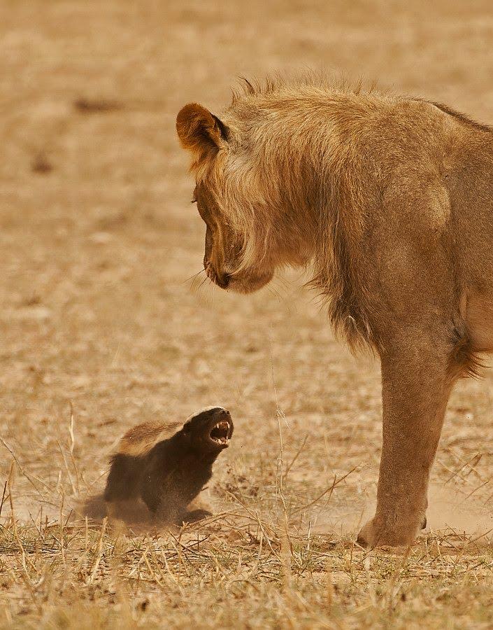 honey badger most dangerous animal in the world
