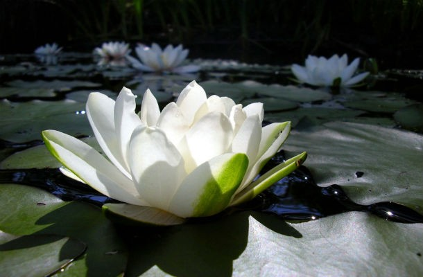 Rare flowers that are stunning to look at mobsea white lotus mightylinksfo